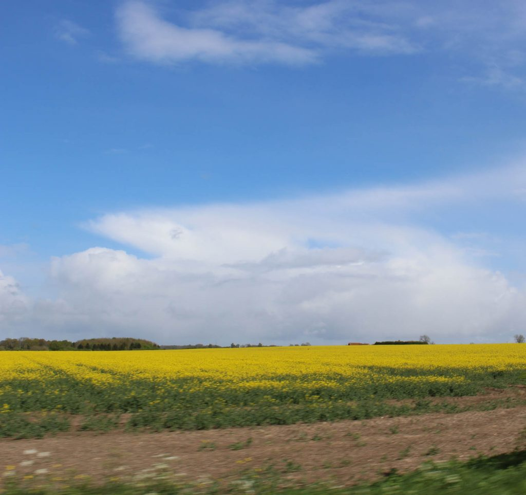 canola_fields